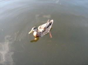 Keswick duck