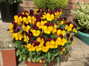 The happy faces of a pot of pansies!