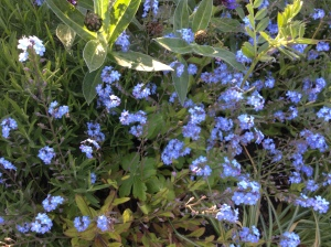 Quite fitting that I spotted these Forget-me-nots at the station......