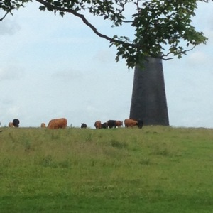And the town cows looked very content as I walked through the Westwood....