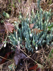 So nice to see my first snow drops in the hedgerow😊